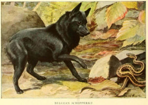 belgian schipperke - information about dogs
