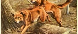 Dingo Dogs Information
