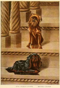 king charles spaniel brussels griffon - information about dogs