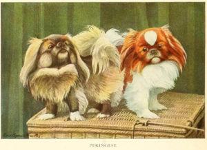 pekingese dog - information about dogs