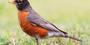 AMERICAN ROBIN – Birds for Kids
