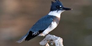 BELTED KINGFISHER – Birds for Kids