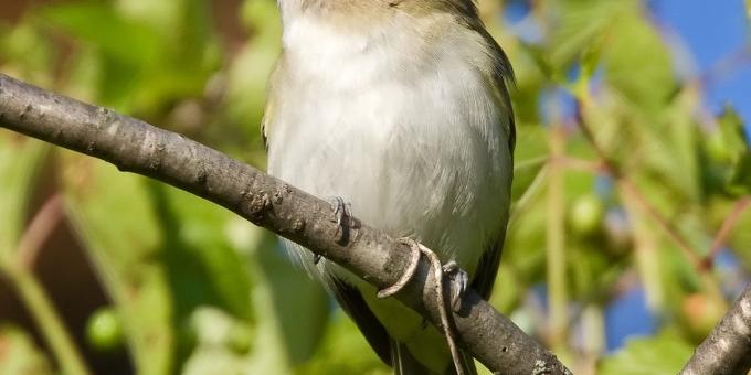 RED-EYED VIREO – Birds for Kids