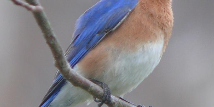 THE BLUEBIRD – Birds for Kids