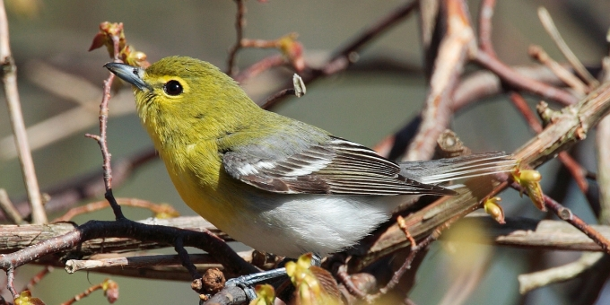 YELLOW-THROATED VIREO – Birds for Kids